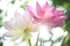 images lotus2